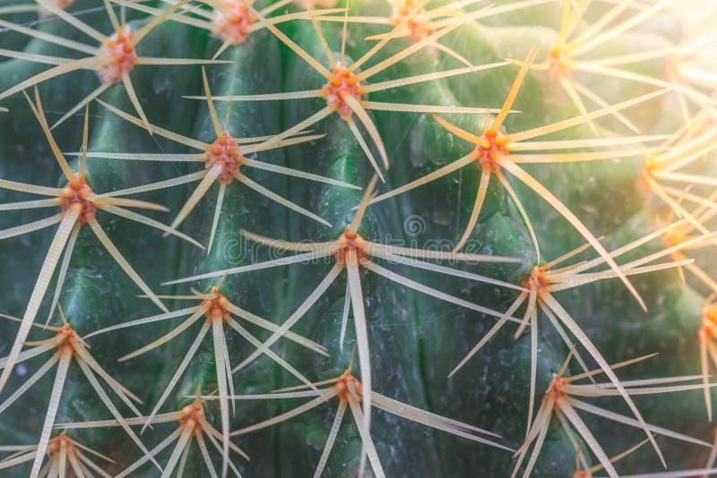 Fermez-vous vers le haut du cactus avec la lumière du soleil photos stock