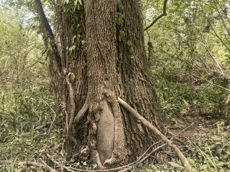 Fermez-vous vers le haut du chêne blanc avec des vignes de kudzu photo libre de droits