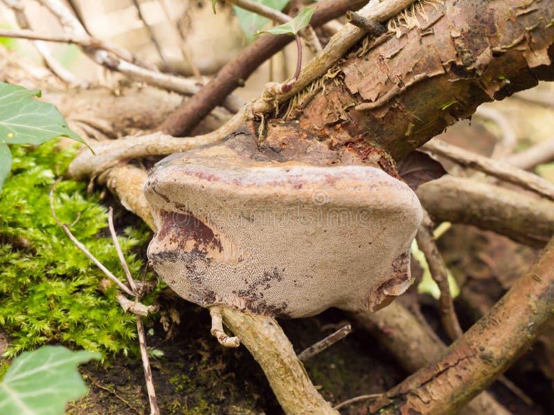 fermez-vous vers le haut du champignon de parenthèse sur les détails en bois de champignons de branche de bâton photographie stock