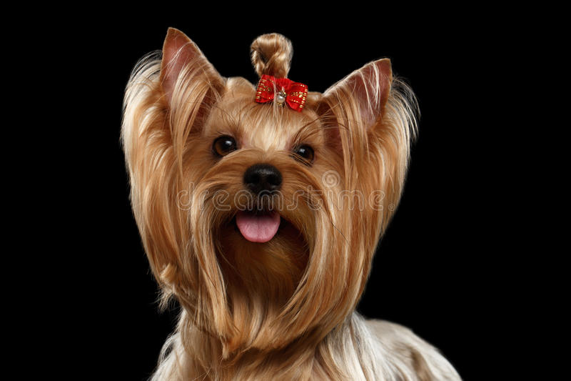 Fermez-vous vers le haut du chien de Yorkshire Terrier de portrait avec l'arc, regardant in camera photos stock