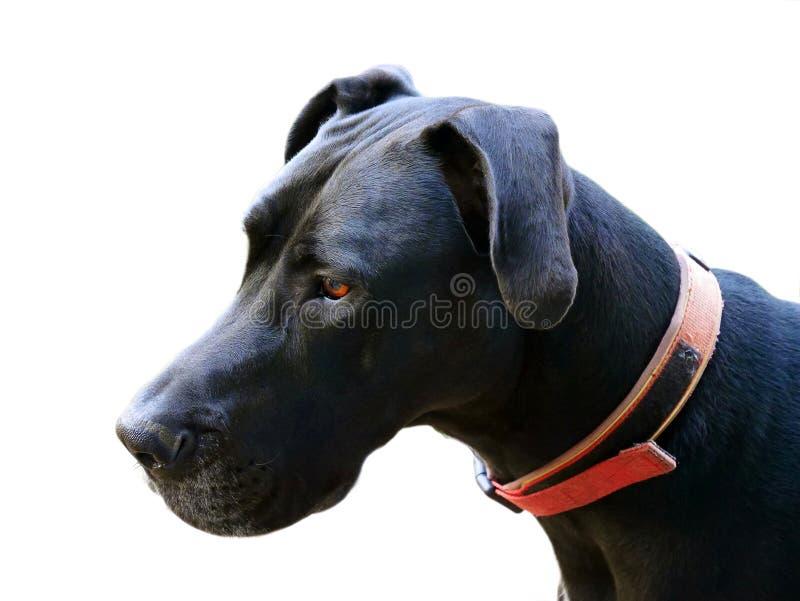 Fermez-vous vers le haut du chien noir (avec le chemin de coupure) images stock