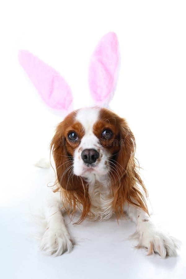 Fermez-vous vers le haut du chiot de Labrador Chiot de chien avec des oreilles de lapin Célébrez Pâques avec la photo cavalière m images stock