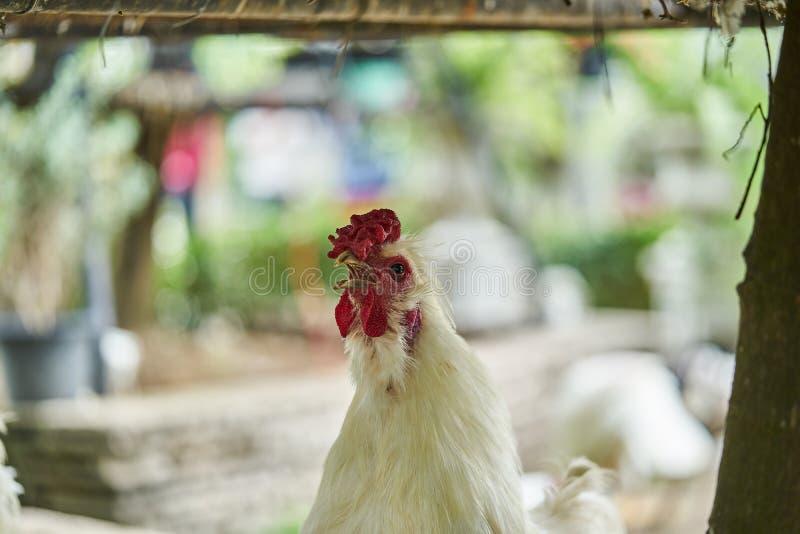 Fermez-vous vers le haut du coq rappelant, vrai poulet agricole blanc de volaille photos stock