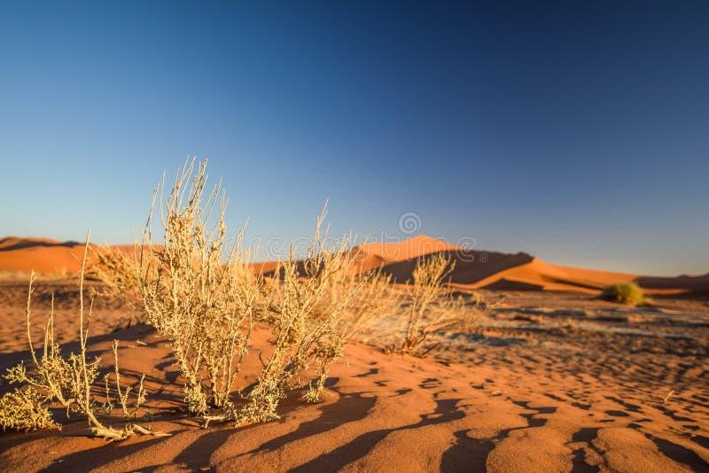 Fermez-vous vers le haut du détail des buissons morts d'herbe dans Sossusvlei près de Sesriem dans le désert de Namib en Namibie, photos stock