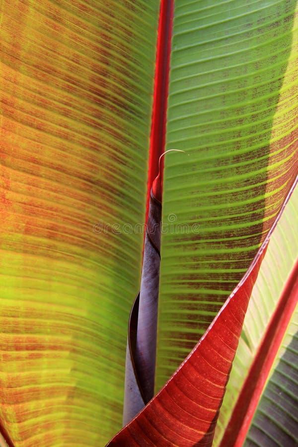 Fermez-vous vers le haut du détail des feuilles de lis de Canna photos stock