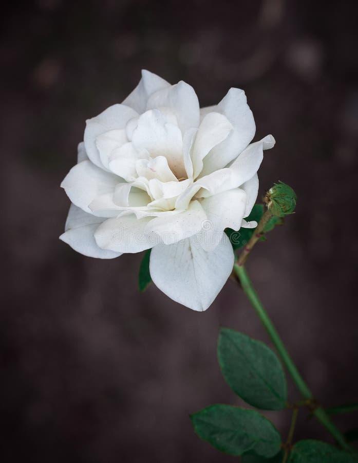 Fermez-vous vers le haut du fond de fleur blanche images stock
