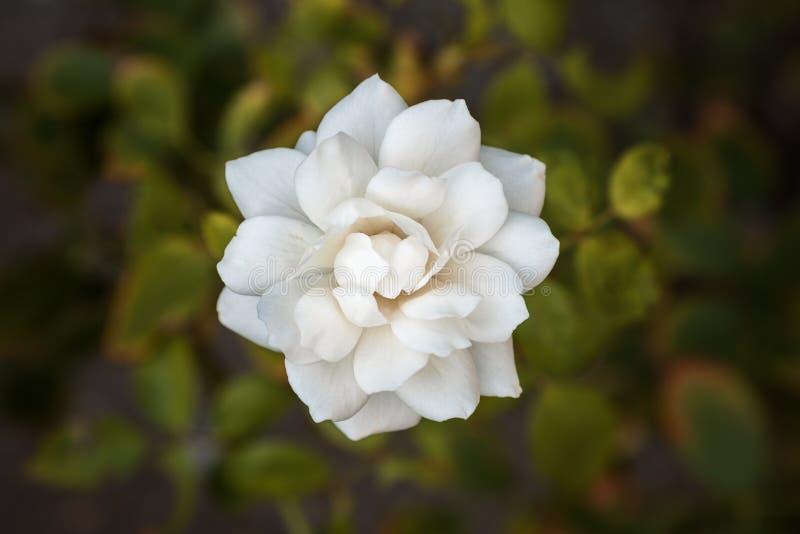 Fermez-vous vers le haut du fond de fleur blanche photo libre de droits
