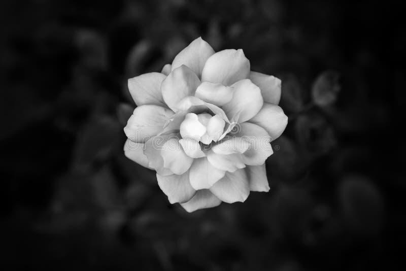 Fermez-vous vers le haut du fond noir et blanc de fleur images stock