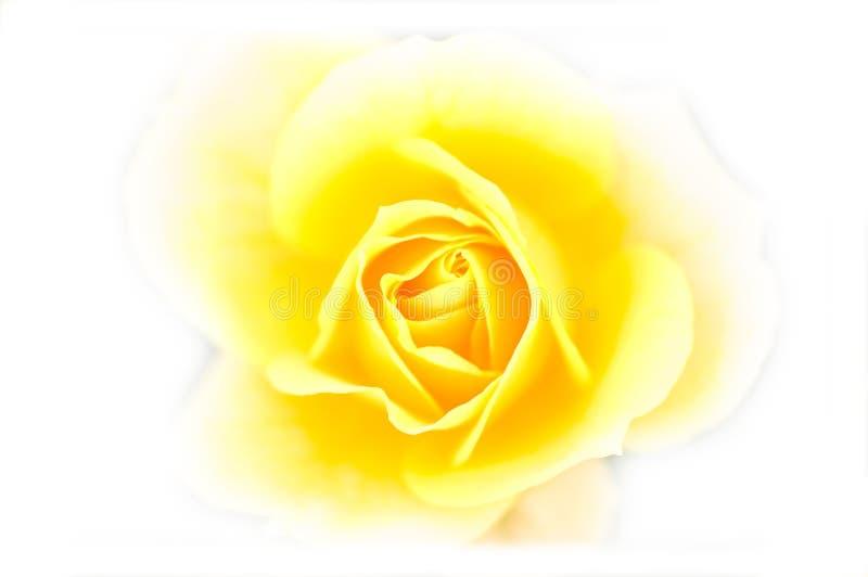 Fermez-vous vers le haut du jaune s'est levé photo stock