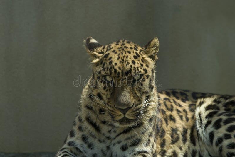 Fermez-vous vers le haut du léopard images libres de droits