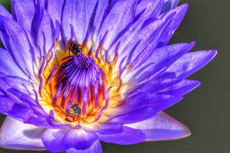 Fermez-vous vers le haut du lotus pourpré photos libres de droits