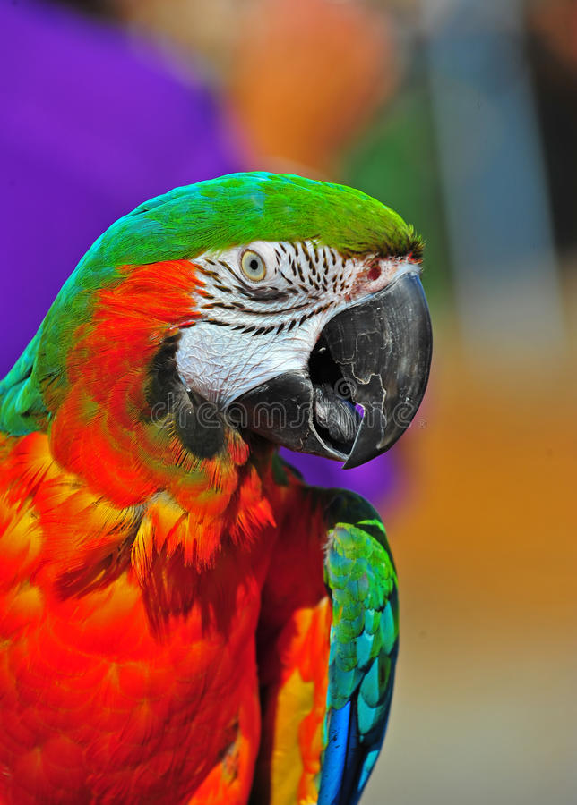 Fermez-vous vers le haut du Macaw principal assez vert photos libres de droits