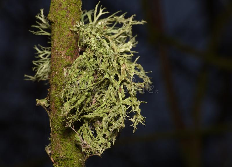 Fermez-vous vers le haut du macro tir du lichen vert - R-U image stock