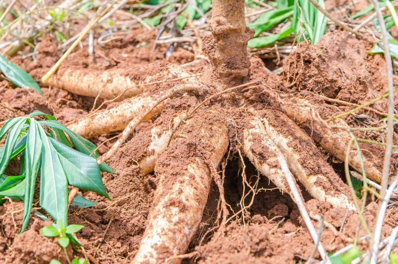 Fermez-vous vers le haut du manioc dans la ferme avec la terre image stock