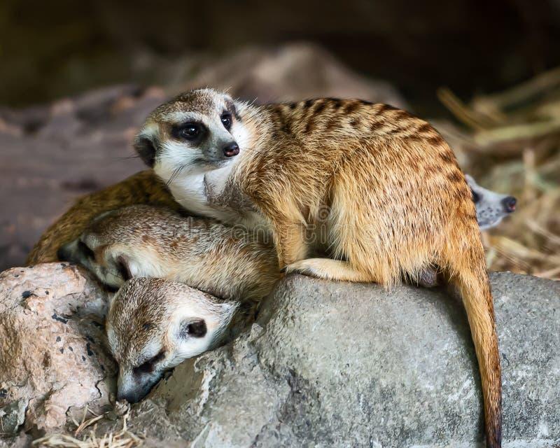 Fermez-vous vers le haut du meerkat photographie stock libre de droits