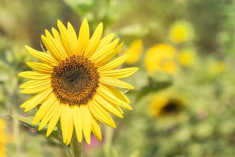 Fermez-vous vers le haut du milieu du tournesol fleurissant sur le champ image libre de droits