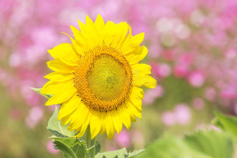 Fermez-vous vers le haut du milieu du tournesol fleurissant sur le champ images stock