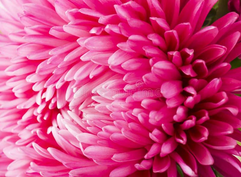 Fermez-vous vers le haut du pétale rose de fleur d'aster photographie stock libre de droits