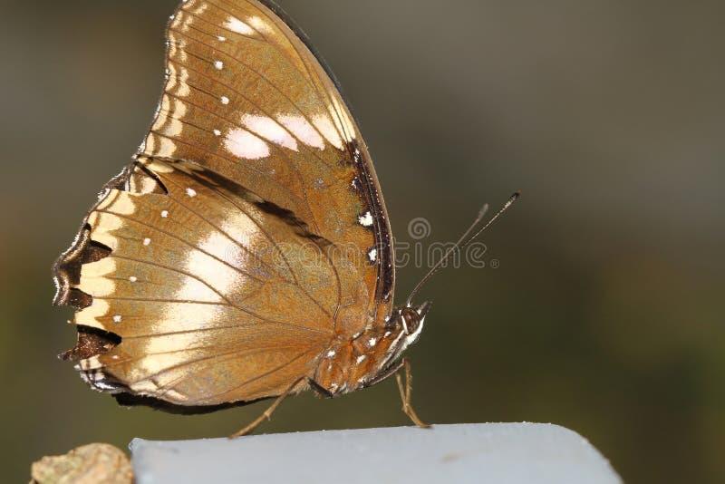 fermez-vous vers le haut du papillon brun images libres de droits
