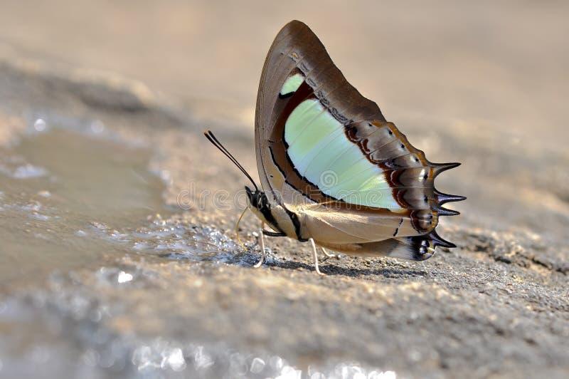Fermez-vous vers le haut du papillon mangeant des minerais au sol en nature photographie stock