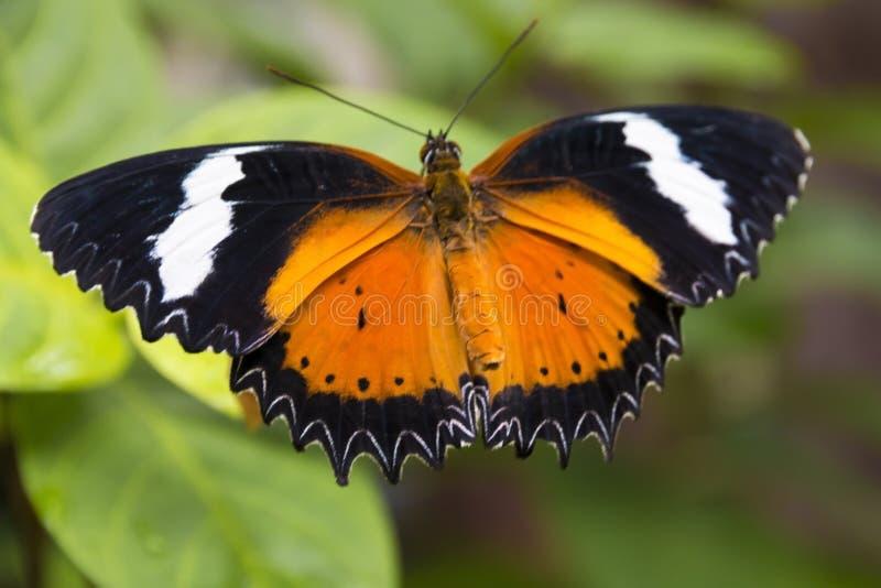 Fermez-vous vers le haut du papillon orange et blanc noir photographie stock libre de droits