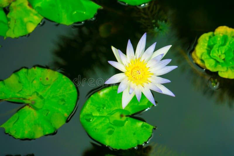 Fermez-vous vers le haut du petit lotus blanc de floraison dans l'étang photos libres de droits