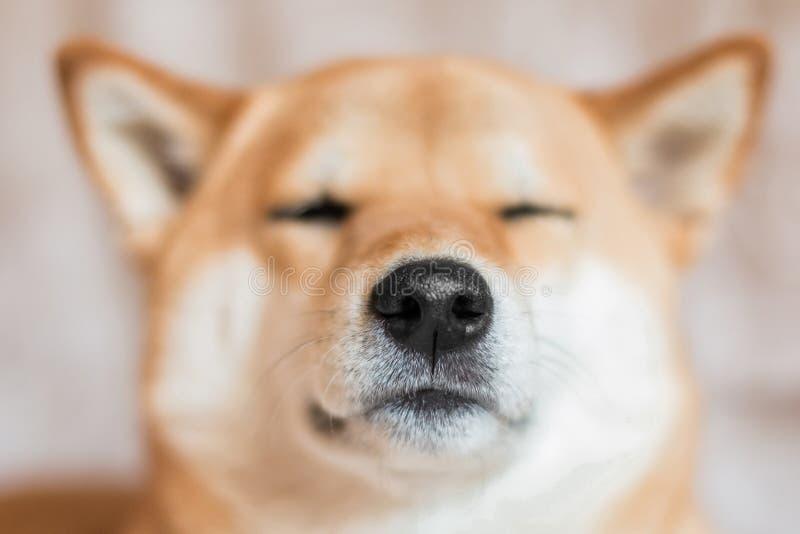 Fermez-vous vers le haut du portrait d'un chien d'inu de shiba Foyer s?lectif Front View images stock