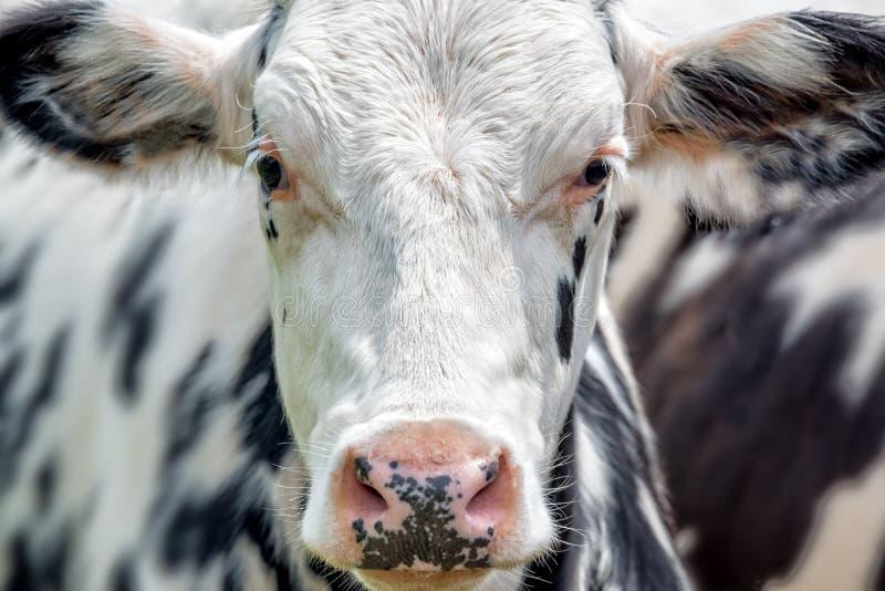 Fermez-vous vers le haut du portrait d'une vache noire et blanche faisant face à l'appareil-photo images libres de droits