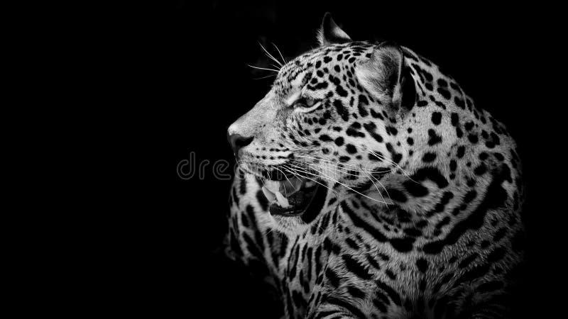 Fermez-vous vers le haut du portrait de Jaguar images libres de droits