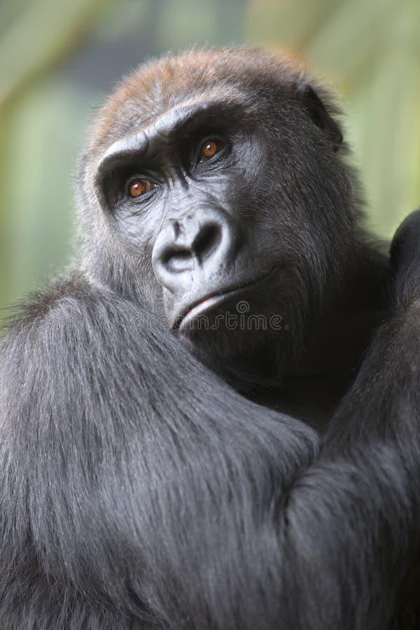 Fermez-vous vers le haut du portrait de la singe de gorille images libres de droits