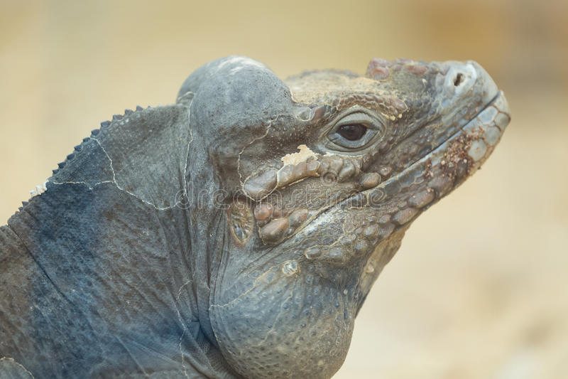 Fermez-vous vers le haut du portrait de la tête d'un iguane de rhinocéros image stock