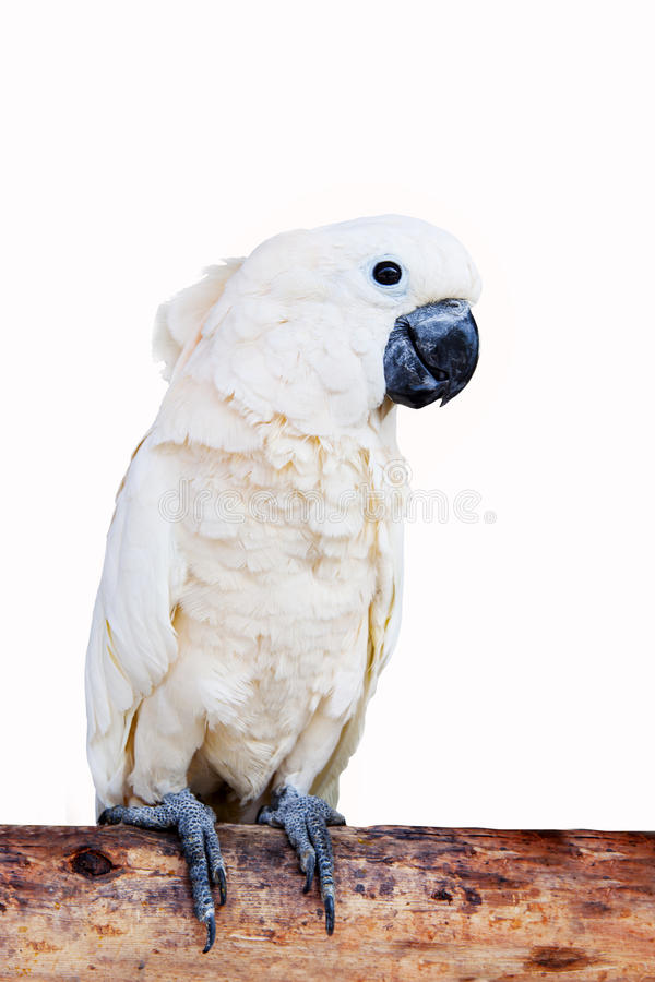 Fermez-vous vers le haut du portrait des oiseaux de cacatoès, cacatoès de Moluquois ou de Seram photos stock