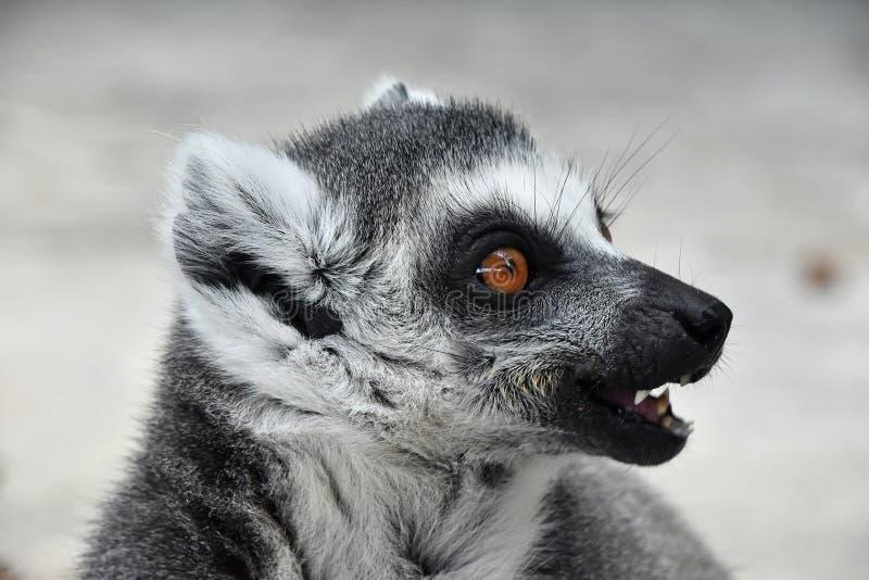 Fermez-vous vers le haut du portrait du catta anneau-coupé la queue de lémur photos libres de droits