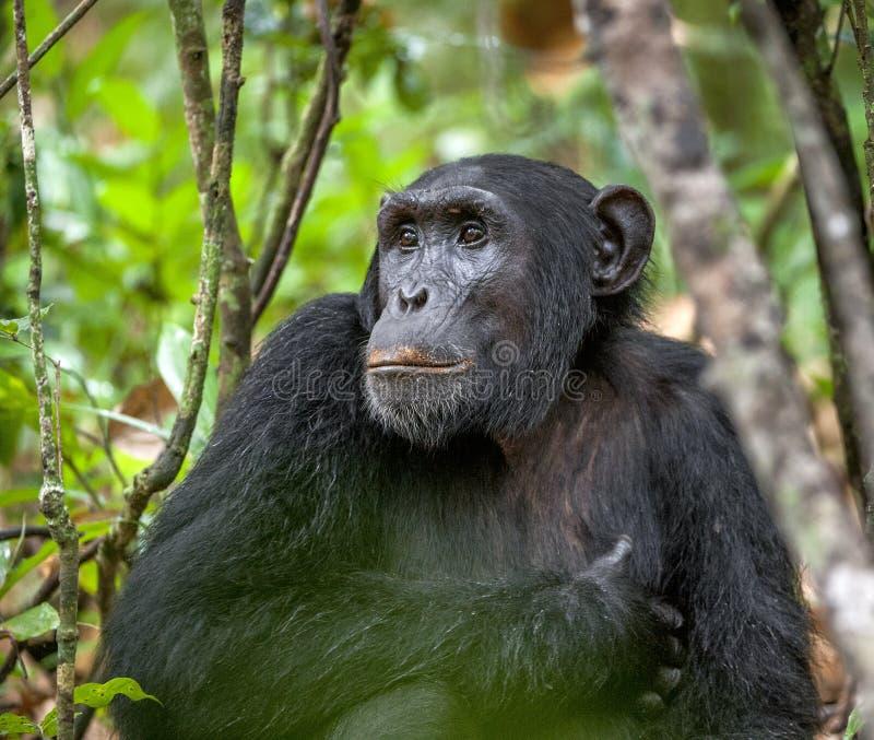 Fermez-vous vers le haut du portrait du chimpanzé (troglodytes de casserole) se reposant dans la jungle images libres de droits