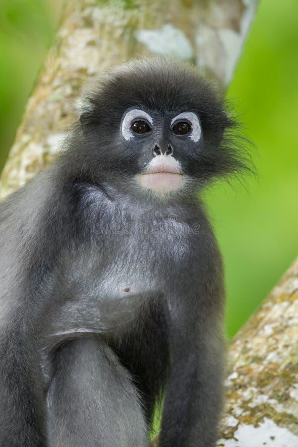 Fermez-vous vers le haut du portrait du Feuille-singe sombre photographie stock libre de droits