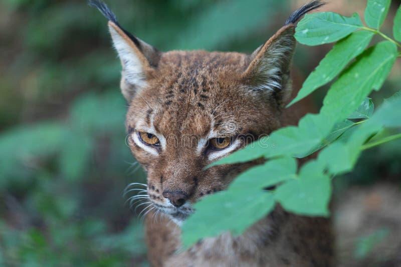 Fermez-vous vers le haut du portrait du lynx eurasien sauvage de Lynx de lynx se cachant derrière des feuilles dans la forêt photo libre de droits