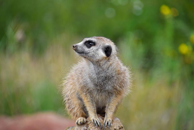 Fermez-vous vers le haut du portrait du meerkat regardant loin image stock