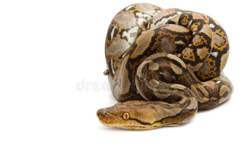 Fermez-vous vers le haut du python birman photo libre de droits