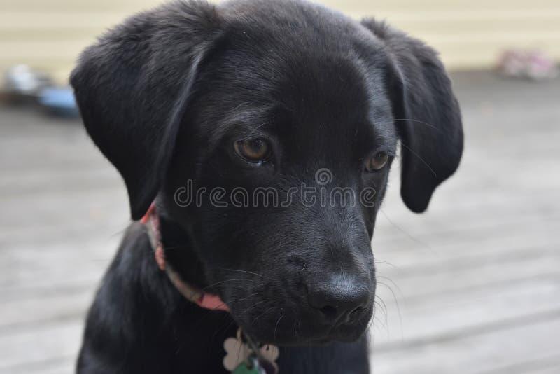 Fermez-vous vers le haut du regard à un chiot noir de labrador retriever photos stock