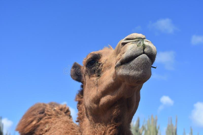Fermez-vous vers le haut du regard au visage d'un chameau images stock