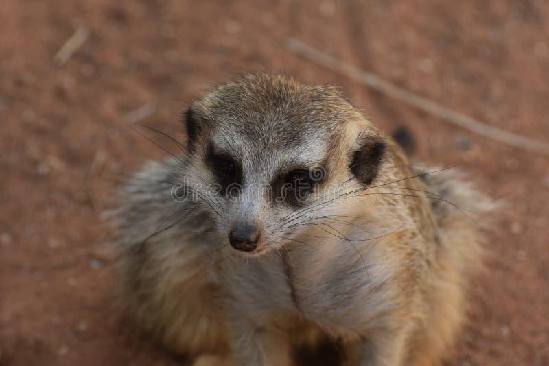 Fermez-vous vers le haut du regard dans le visage d'un Meerkat photos libres de droits