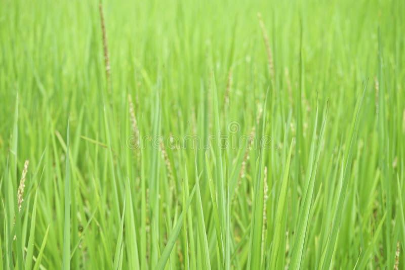 Fermez-vous vers le haut du riz addy de jasmin photographie stock libre de droits