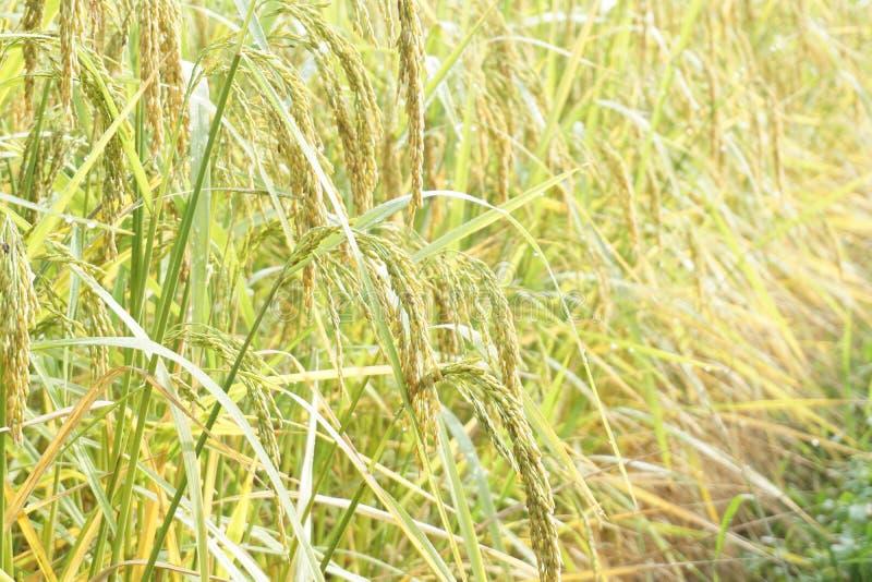 Fermez-vous vers le haut du riz non-d?cortiqu? vert Oreille verte de riz dans le domaine de riz non-d?cortiqu? sous le lever de s photos libres de droits
