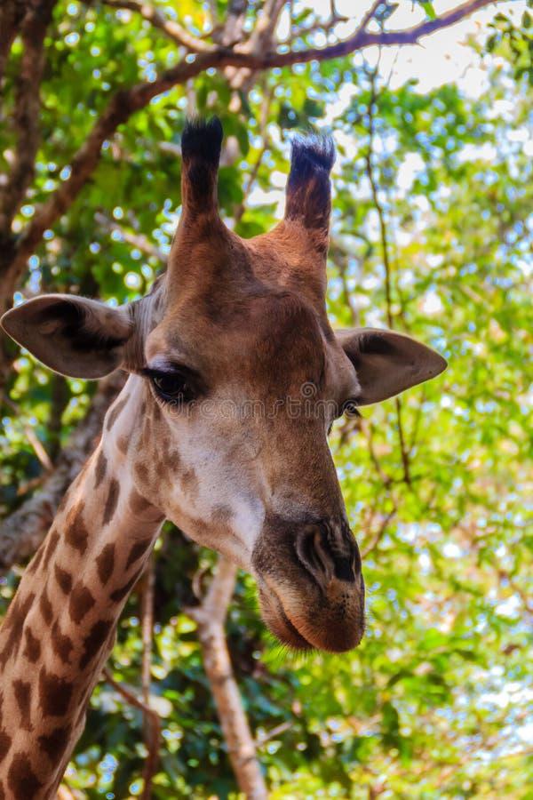 Fermez-vous vers le haut du rothschildi de camelopardis de Giraffa de tête de girafe images stock
