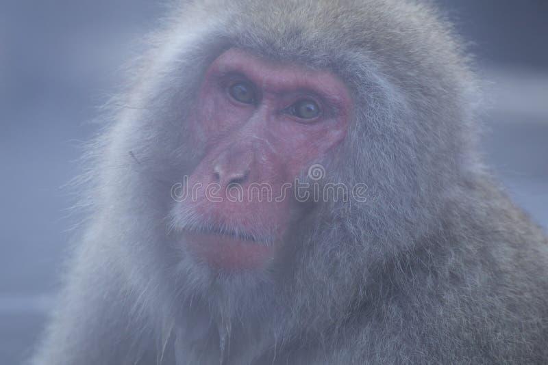 Fermez-vous vers le haut du singe de neige images libres de droits