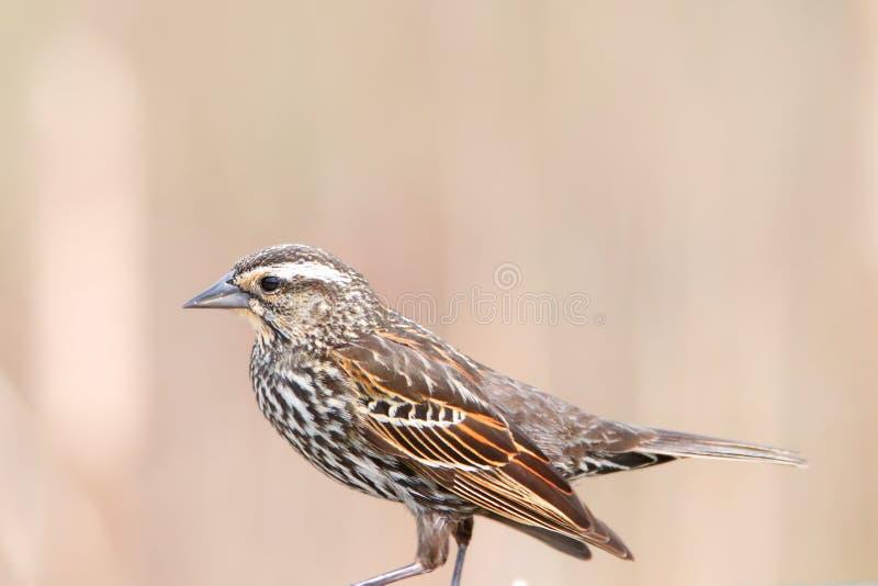 Fermez-vous vers le haut du tir de l'oiseau de Siskin de pin photo stock