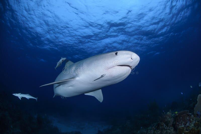 Fermez-vous vers le haut du tir de Tiger Shark Swimming Gracefully dans les eaux claires des Bahamas photo libre de droits
