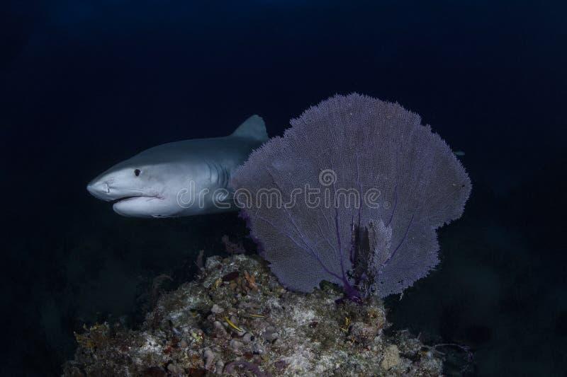 Fermez-vous vers le haut du tir de Tiger Shark Swimming Gracefully dans les eaux claires des Bahamas image libre de droits