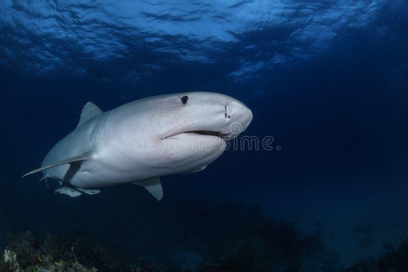 Fermez-vous vers le haut du tir de Tiger Shark Swimming Gracefully dans les eaux claires des Bahamas photo stock
