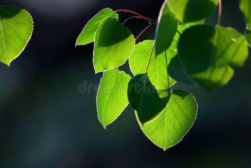 Fermez-vous vers le haut du tir des feuilles vertes d'Aspen images libres de droits